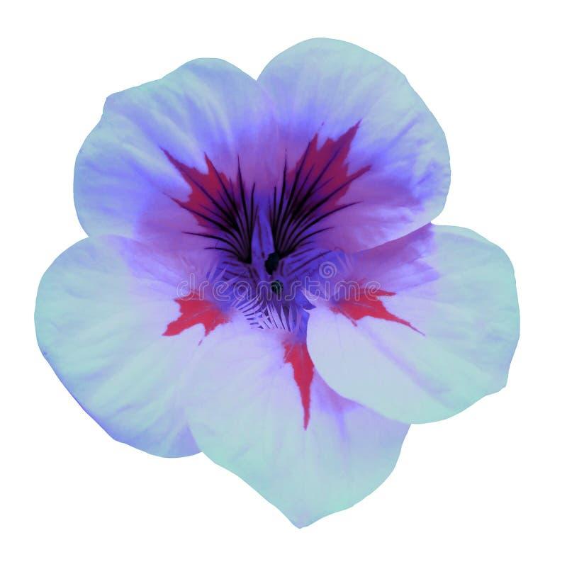 Petunia del azul de la flor Aislado en un fondo blanco Primer sin las sombras Para el diseño fotografía de archivo libre de regalías