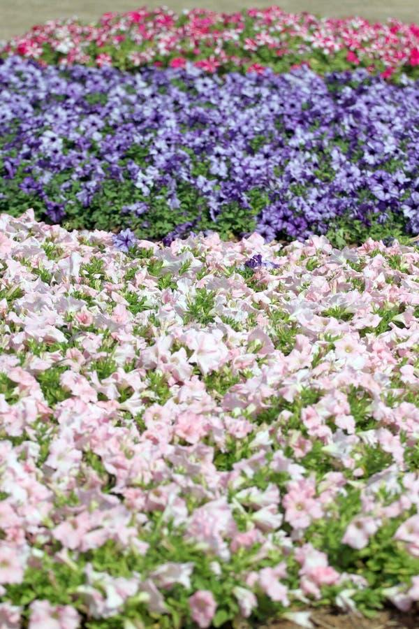 Petunia del campo de flor. foto de archivo libre de regalías