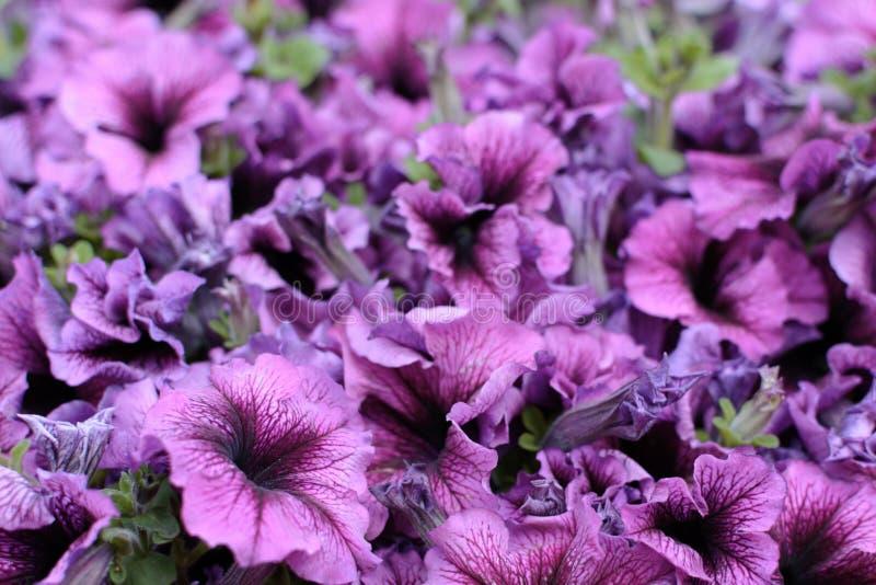 Petunia del hybrida de Surfinia del fondo La púrpura del flor florece el fondo fotografía de archivo