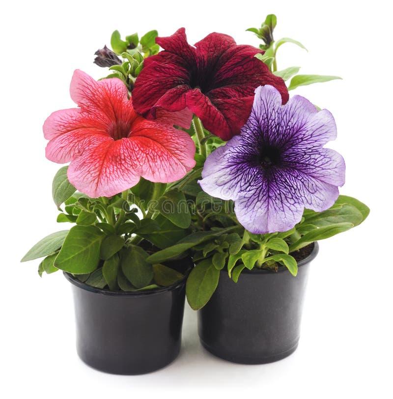 Petunia drie in potten royalty-vrije stock foto