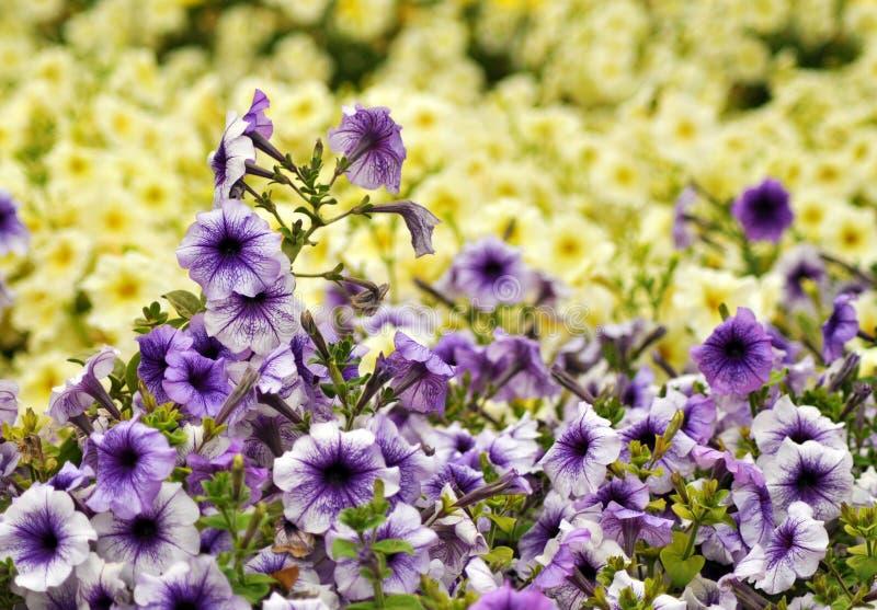 Petunia Field royalty free stock photography