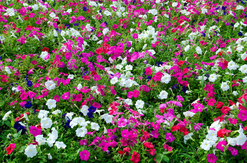 Petunia field royalty free stock photo