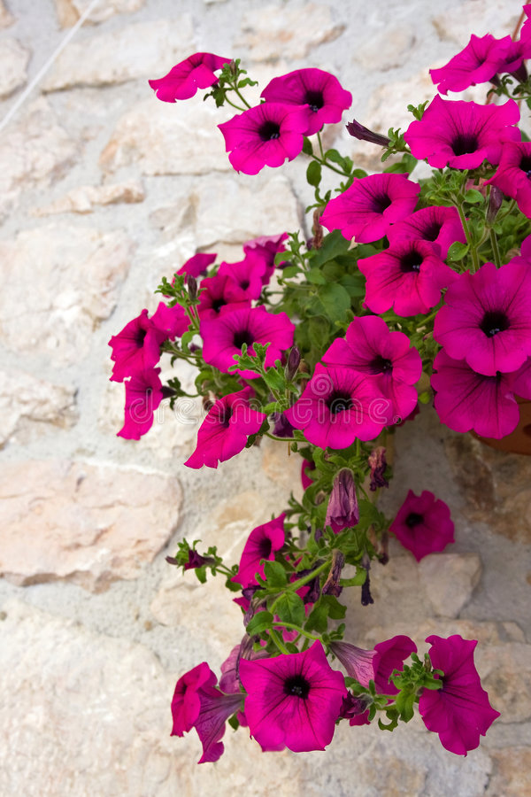 Download Petunia Flower stock image. Image of nature, decor, bouquet - 5282217