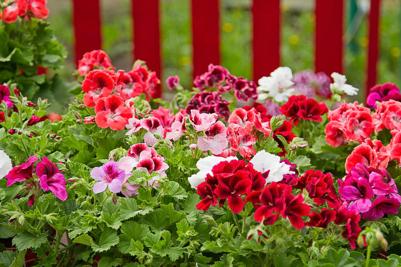 Download Petunia Flower Bed stock image. Image of flower, color - 22535365