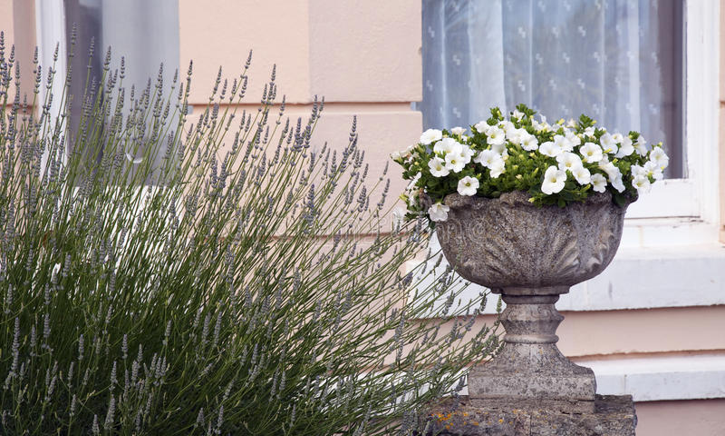 Petunia flower pot