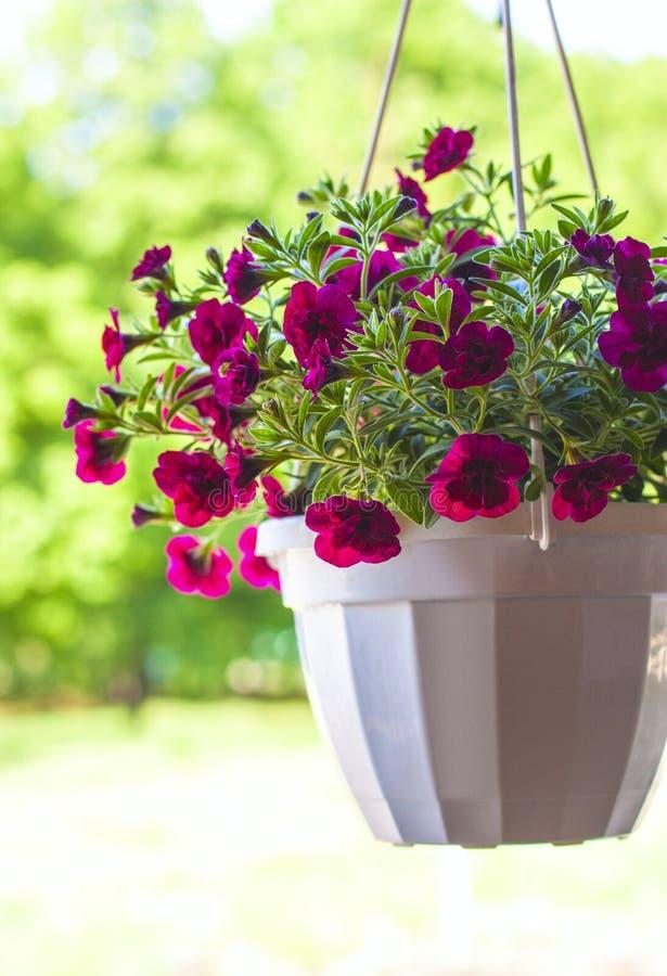 Petunia flower pot stock photo
