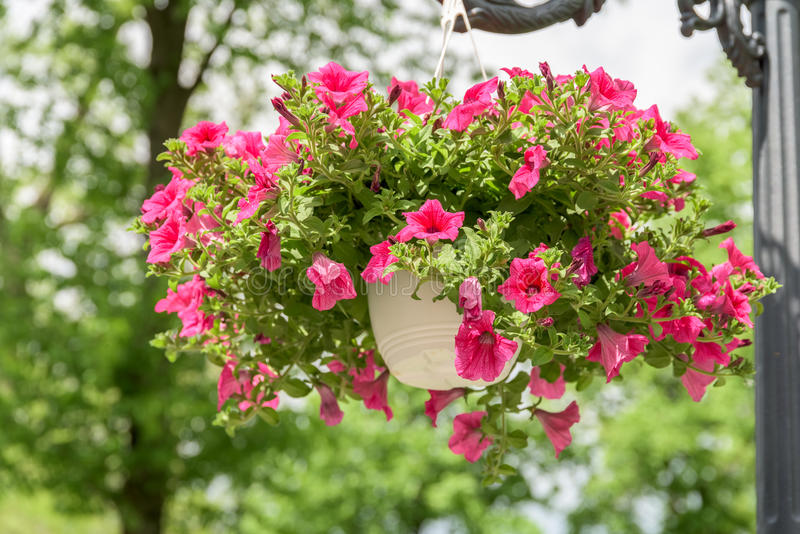 Petunia Flowers In Flower Pot. Petunia Flowers In Hanging Flower Pot stock images