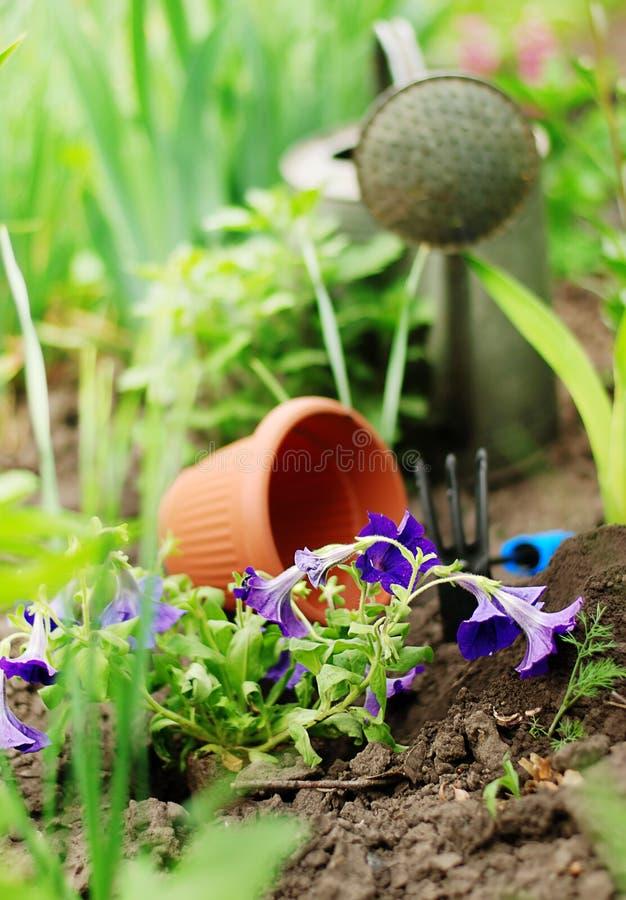 Download Petunia Flowers On Garden Bed Stock Photo - Image of houseplant, flavor: 24998900