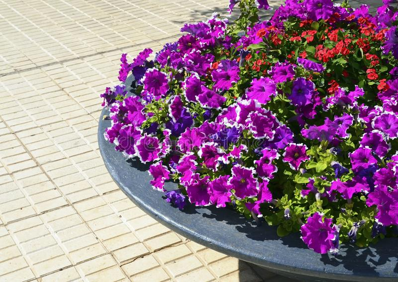 Petunia flowers in a stone flower pot in summer garden.Bright colorful petunias floral background with copy space. stock image