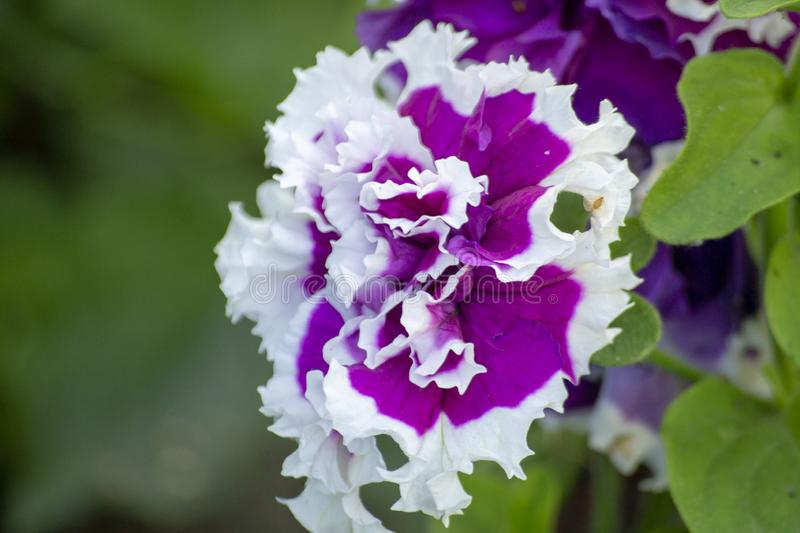 Petunia in the garden on a blurred background, close-up flower stock image