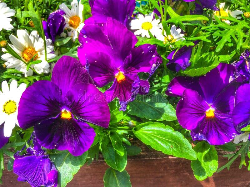 Purple Petunia Grandiflora In Full Bloom Stock Photo ...