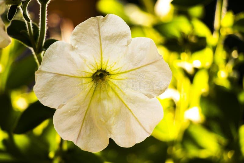 Petunia hermosa imagen de archivo