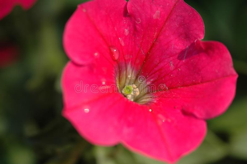 Petunia hybrida Vilm. Is Solanaceae, Petunia annual herb, up to 60 cm, leaf blade ovate, apex acute, lateral veins not obvious, flowers solitary in leaf axils stock photo