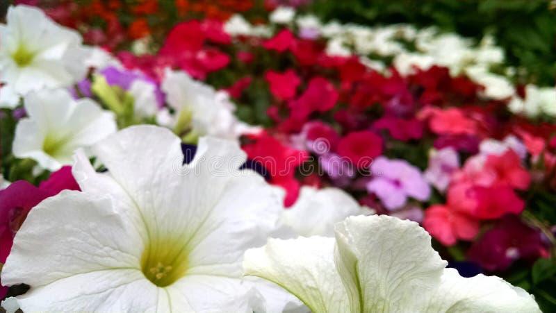 Petunia and impatiens royalty free stock photos