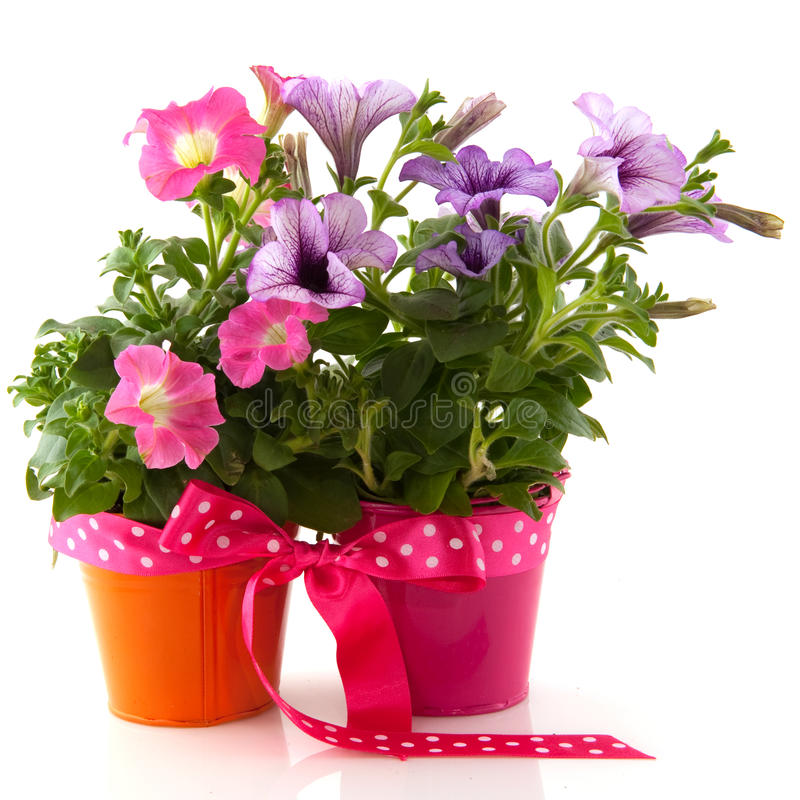 Free Petunia In Colorful Buckets As A Gift Stock Photography - 14152682