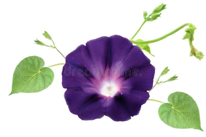 Petunia isolado imagem de stock