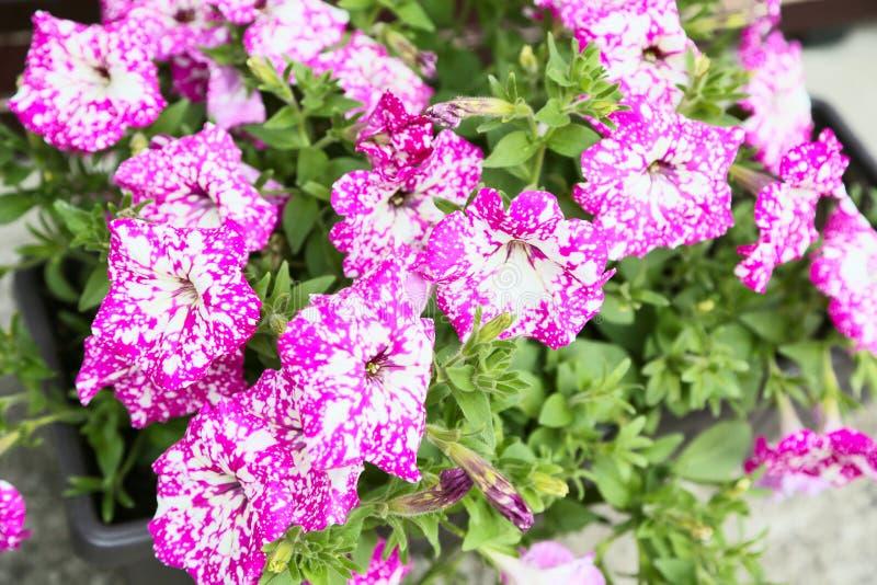 Petunia, kleurrijke de Petuniahybrida van de petuniabloem Van de achtergrond bloemenpetunia textuur, patroon royalty-vrije stock foto's