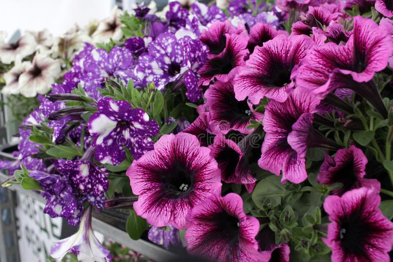 Petunia, kleurrijke de Petuniahybrida van de petuniabloem Bloemen patroon De lente en de zomer van de achtergrond bloemenpetunia  royalty-vrije stock fotografie