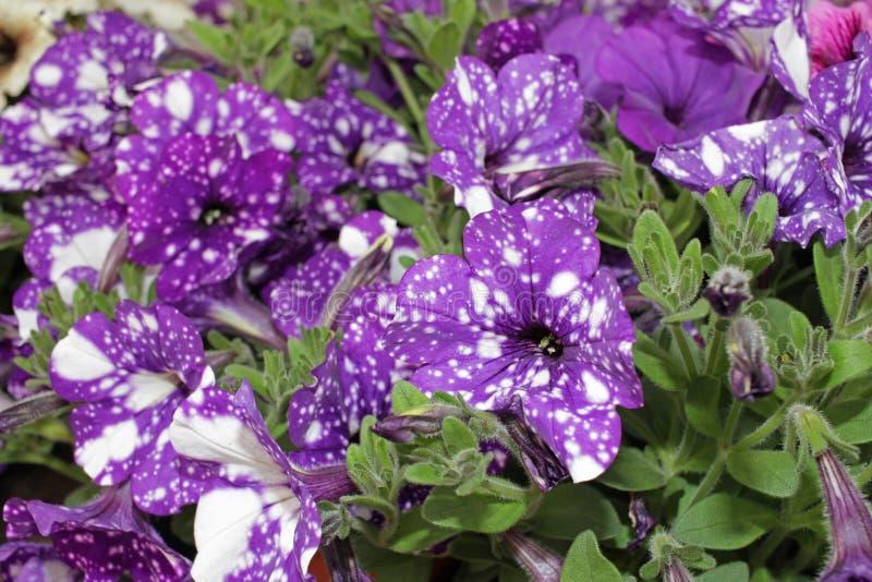 Petunia, kleurrijke de Petuniahybrida van de petuniabloem Bloemen patroon De lente en de zomer van de achtergrond bloemenpetunia  stock foto