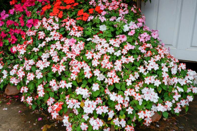 Petunia kwiat kolorowy fotografia royalty free