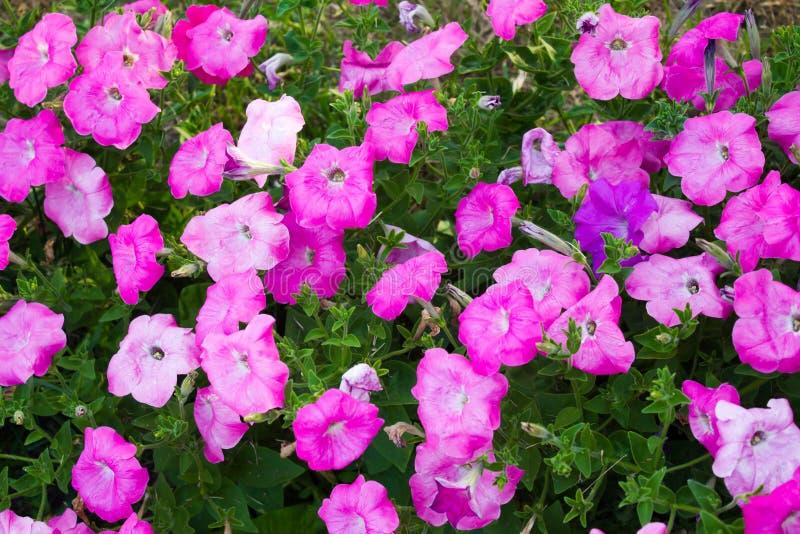 Petunia kwiaty fotografia stock