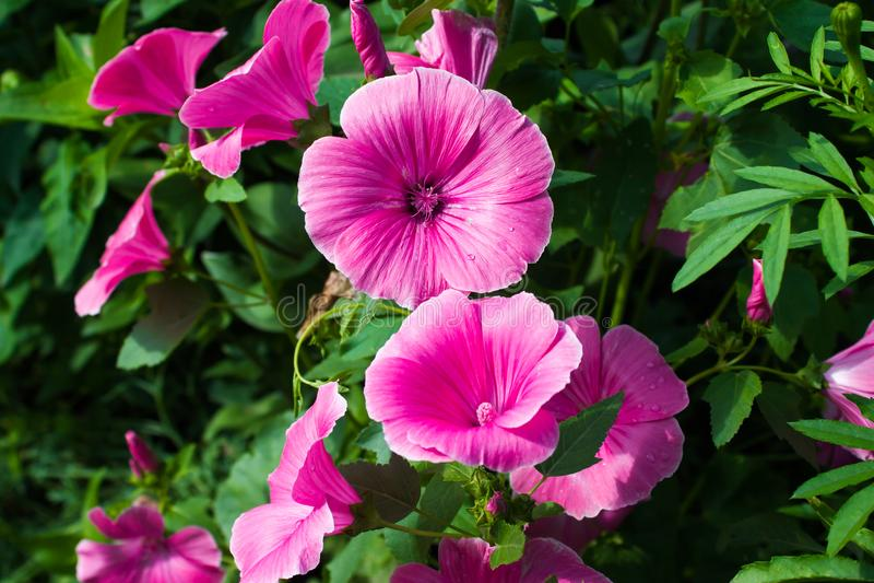 Petunia kwiaty obraz royalty free