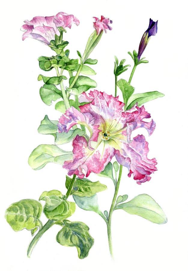 petunia Mano-dibujo botánico del ejemplo de la acuarela stock de ilustración