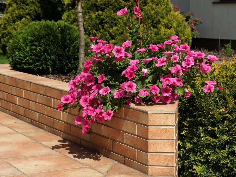 Petunia na parede do terraço imagens de stock