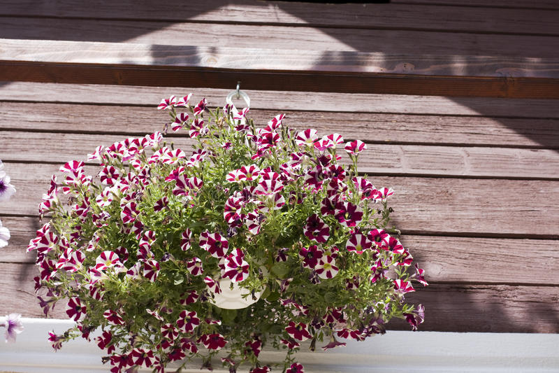 Download Petunia stock image. Image of outdoor, flower, hanging - 31594499