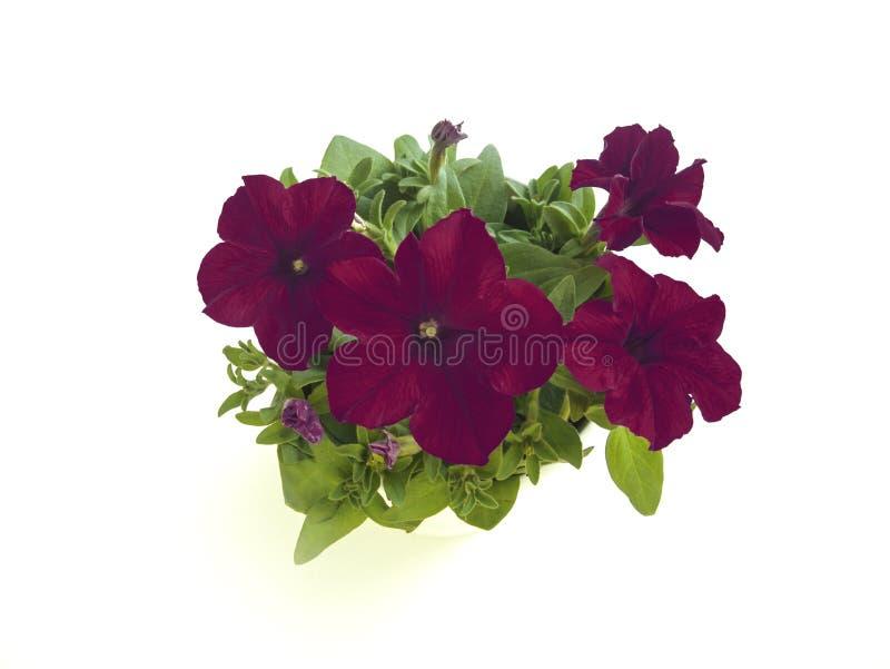 Petunia oscura del rojo de vino en el primer en conserva de las floraciones aislado en el fondo blanco fotografía de archivo libre de regalías