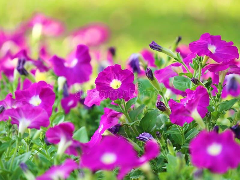 Petunia púrpura fotos de archivo