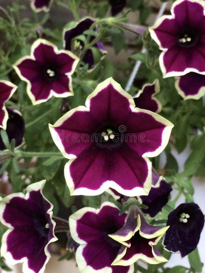 Petunia Pegasus Velvet Picotee deep purple white outer edge. Pegasus Velvet Picotee is stunning and beautiful. It`s deep purple shaded flowers are wonderfully stock photography