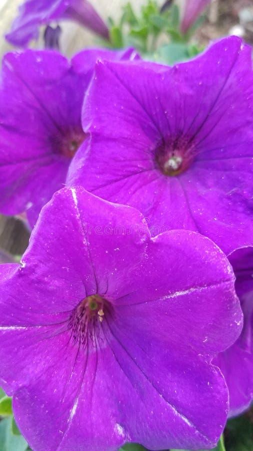 Petunia porpora fotografie stock libere da diritti