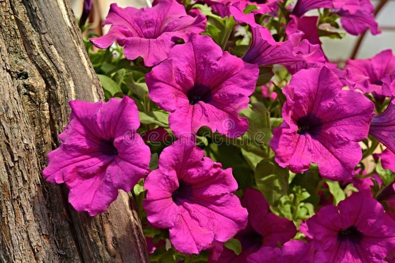 Petunia rosa bella Fiore del giardino Fondo floreale variopinto decorativo della parete Estate, molla Decorazione floreale nave immagine stock