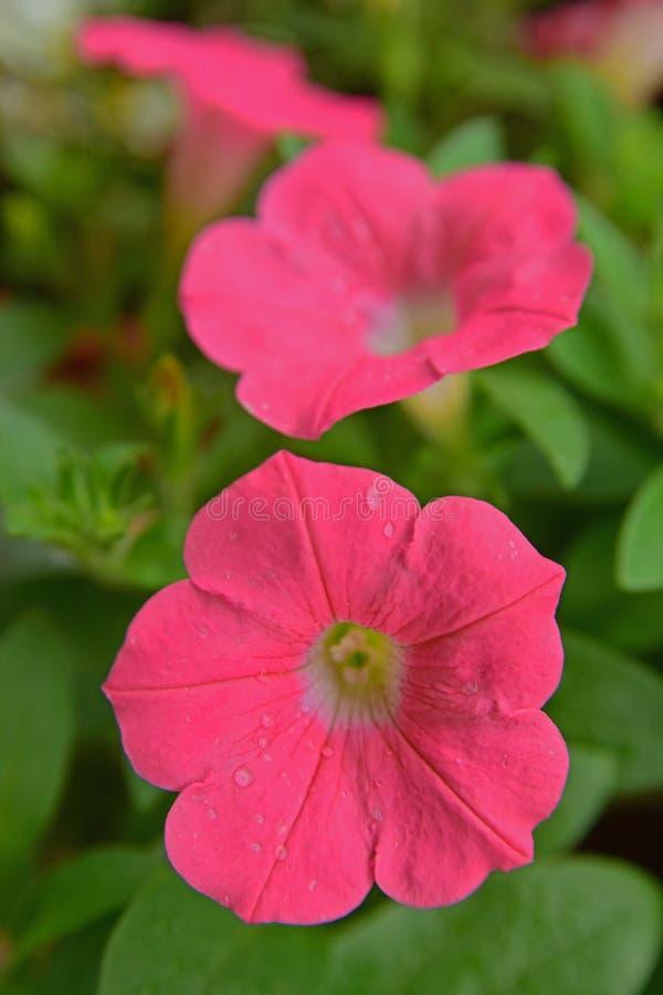 Petunia rosa con i fiori a forma di dell'ampia tromba fotografia stock