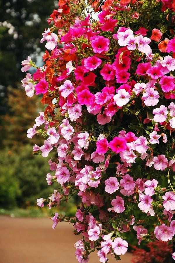 Petunia rosada imagen de archivo