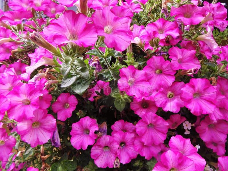 Petunia rosada brillante fotos de archivo
