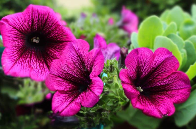 Petunia rosso-acceso fotografia stock
