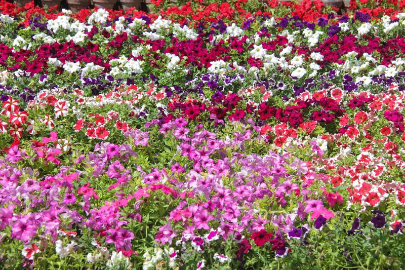 PETUNIA `TOTAL MADNESS MIX`. N royalty free stock images
