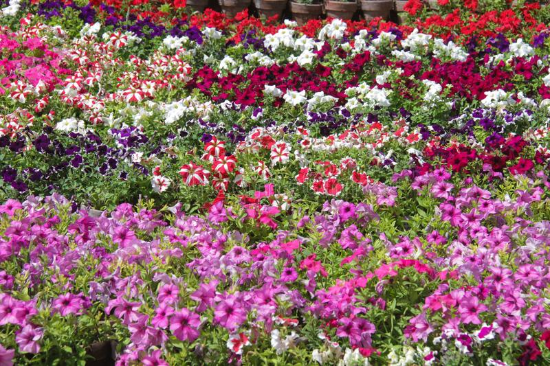 PETUNIA `TOTAL MADNESS MIX`. & Gardening royalty free stock images