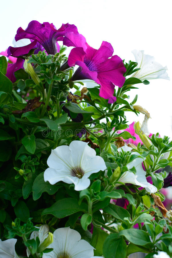 Petunia. Urban background with flowers, 2015 royalty free stock photography
