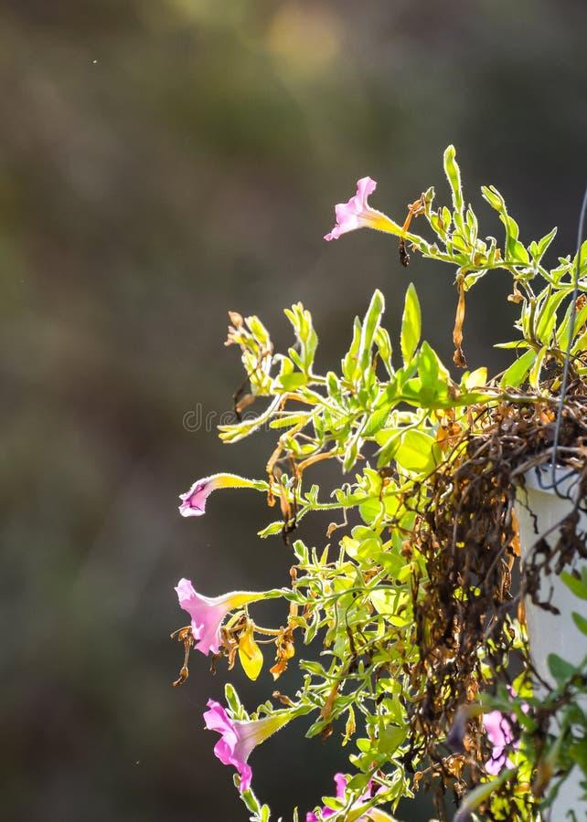 Petunia w ogródzie, petunia w garnku, petunia, zamazany tło i wizerunek colourful petunia,/pełno zdjęcia royalty free