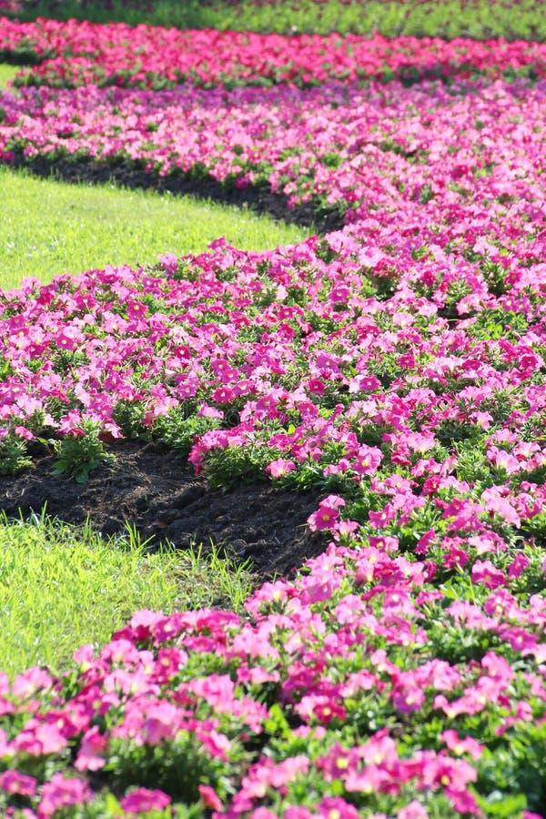 Petuniabloem stock fotografie