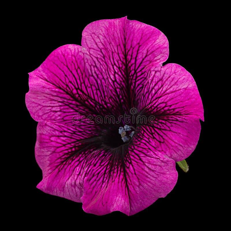Petuniabloem op zwarte royalty-vrije stock afbeelding