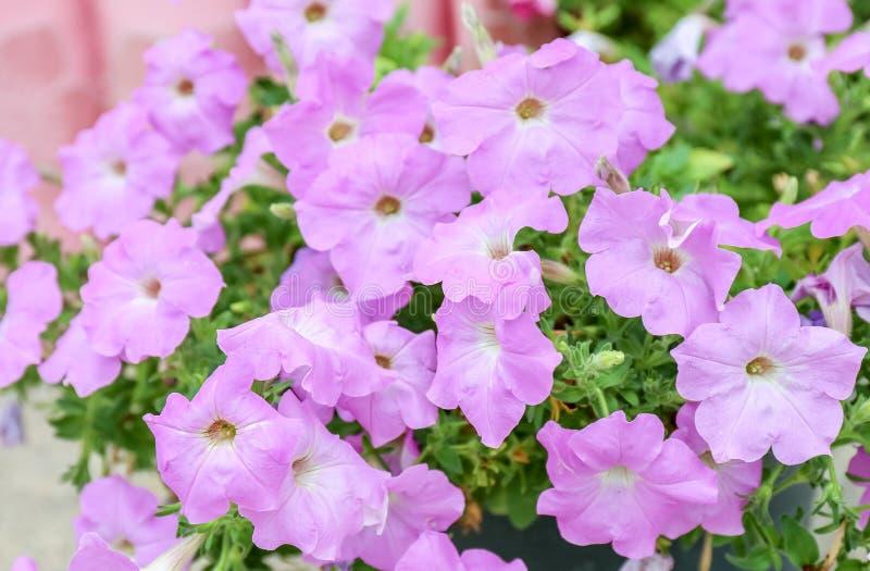 Petuniabloemen stock fotografie