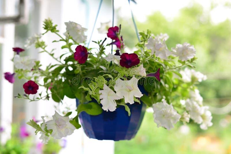 Petuniabloemen bij een pot in openlucht in de zomer royalty-vrije stock foto's