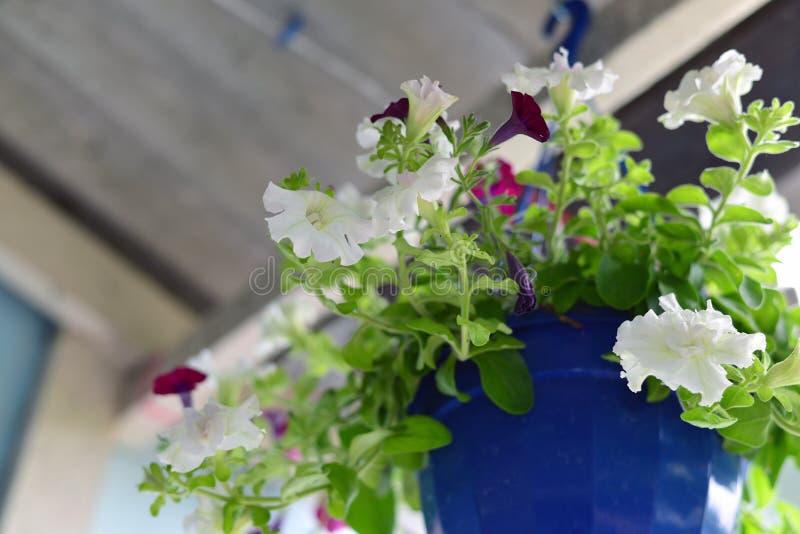 Petuniabloemen bij een pot in openlucht in de zomer stock fotografie