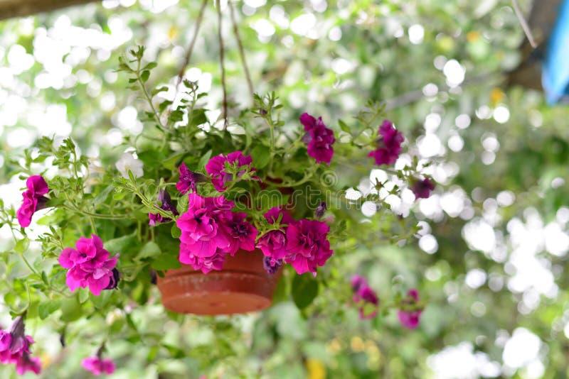 Petuniabloemen bij een pot in openlucht in de zomer stock afbeeldingen