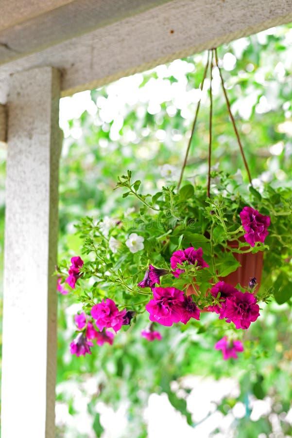 Petuniabloemen bij een pot in openlucht in de zomer royalty-vrije stock afbeeldingen
