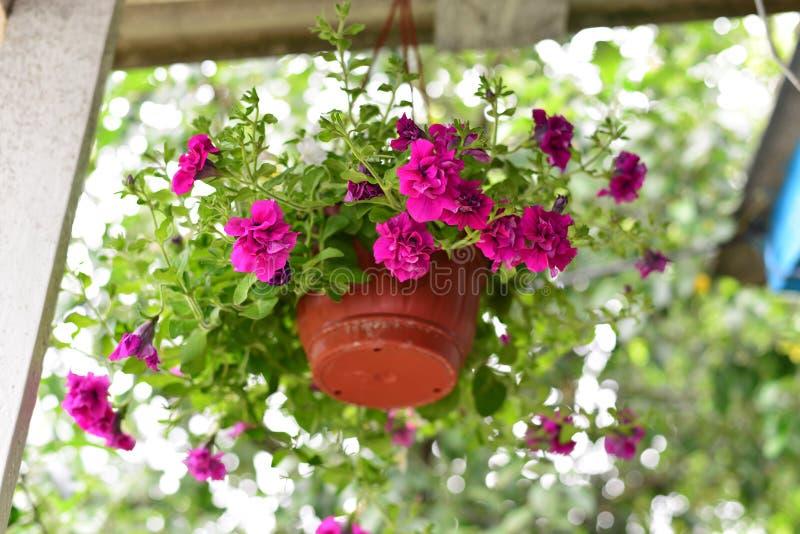 Petuniabloemen bij een pot in openlucht in de zomer stock foto's